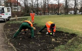 Mitarbeiter des Stadt- und Landschaftspflegebetriebes stecken Blumenzwiebeln auf dem K.-Kollwitz-Platz. [(c): Stadt Halberstadt/Abteilung Stadtgrün]