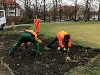 Mitarbeiter des Stadt- und Landschaftspflegebetriebes stecken Blumenzwiebeln auf dem K.-Kollwitz-Platz.