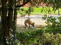 Hausmüll auf Friedhof lockt Füchse an
