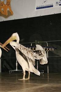 Aus aktuellem Anlass: Pelikane auf der Bühne (einer war der Filmtierschule entflohen und in Emersleben erschöpft aufgefunden worden. Durch die Feuerwehr gerettet und über Rundfunk konnte er dem Besitzer wieder übergeben werden. Als Dank wurden sie hi