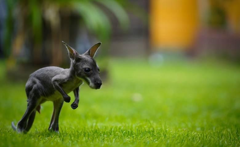 Känguruhbaby Joey [(c) Tiergarten Halberstadt]