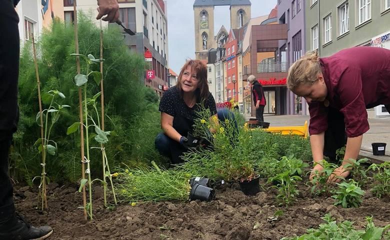 250 Jungpflanzen für Kräuterbeete auf dem Breiten Weg [(c) Stadt Halberstadt]