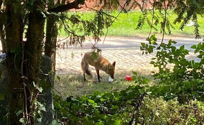 Hausmüll auf Friedhof lockt Füchse an [(c) Stadt Halberstadt/Friedhofsverwaltung]