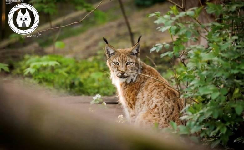 Luchs im Tiergarten [(c) Tierfotografie Harz]