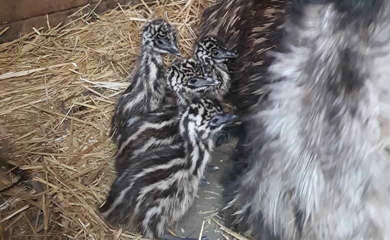 Fünf Emu-Babys im Tiergarten geschlüpft [(c) Stadt Halberstadt/Tiergarten]